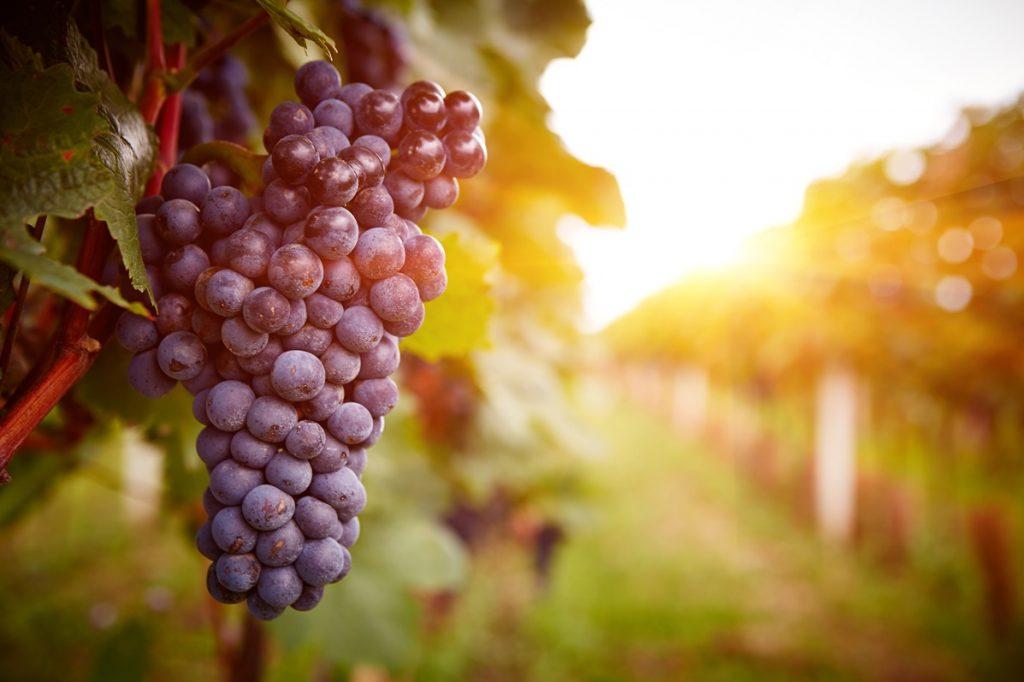 KoBBieciarnia - winiarnia, wina, winogrono - Wino domowej produkcji – co trzeba wiedzieć na starcie przygody z produkcją wina